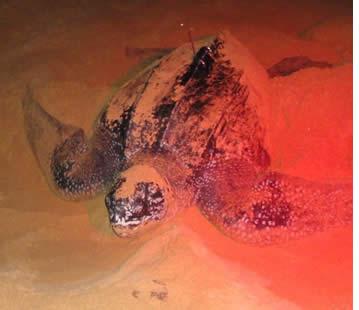 Tortue de mer remontant à l'océan après pondre ses œufs sur Bluff Beach à Bocas del Toro, Panama